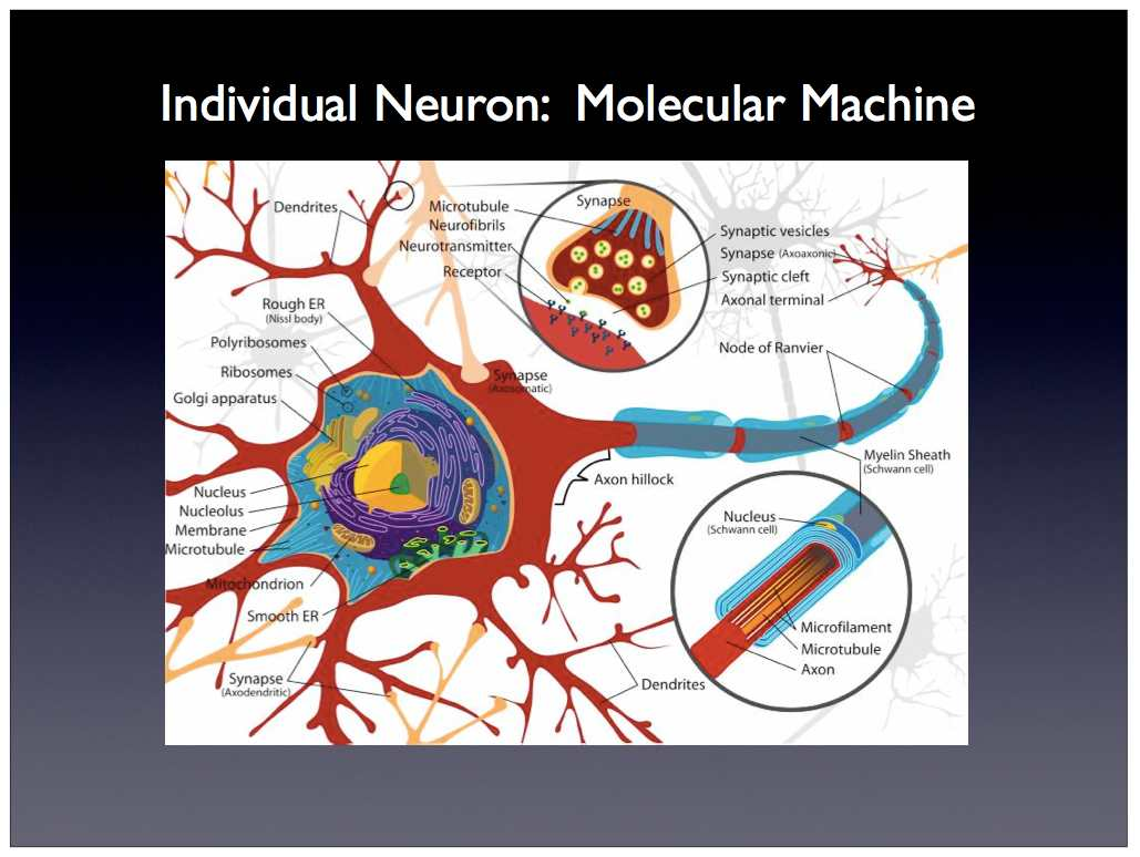 Neuron cell diagram annotated simple neuron diagram wiring diagram scalable neuroscience and the brain activity mapping project basic neuron diagram neuron cell diagram annotated ccuart Image collections