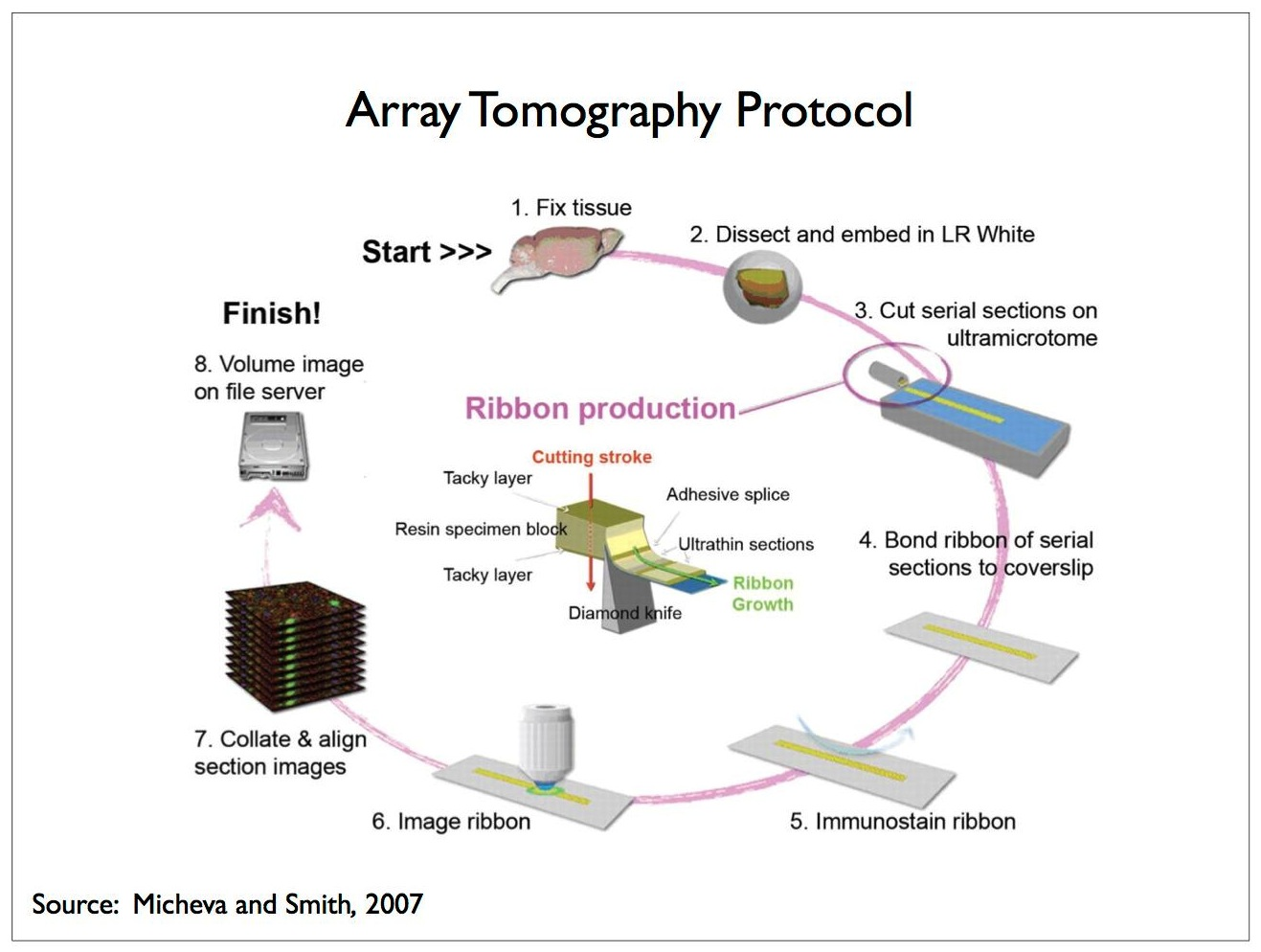 Let's consider the protocol involved in array-tomography immunofluorescence