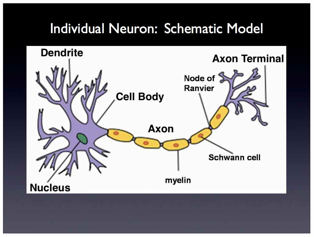 Diagram of neuron middle school diy wiring diagrams scalable neuroscience and the brain activity mapping project rh cs brown edu neuron anatomy labeled neuron ccuart Image collections